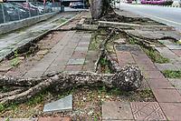 Powerful Tree Roots Break up Sidewalk, Ipoh, Malaysia.
