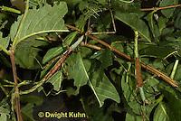 OR07-519z  Walking Stick Insect females, camouflaged on tree, Acrophylla wuelfingi