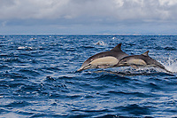 long-beaked common dolphins, Delphinus capensis (formerly Delphinus delphis), leaping out of the water at high speed, off San Diego, California, USA, (Eastern Pacific Ocean)