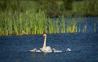 Trumpeter Swan family @ Anchorage's Potter Marsh, sunlight