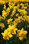 United Kingdom, England, Spring Daffodils in sunshine