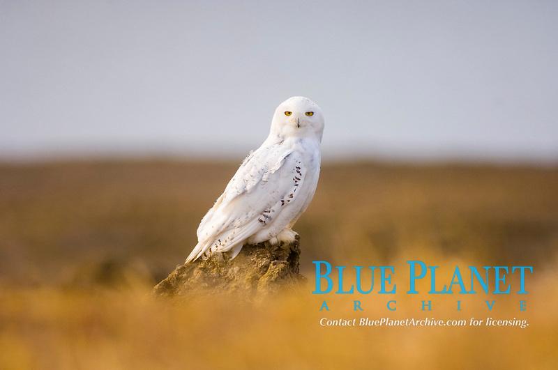 snowy owl, Bubo scandiacus, female outside Point Barrow, National Petroleum Reserves, Arctic Alaska