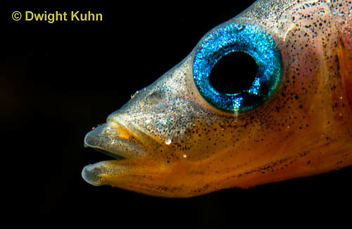 1S14-799z   Male Threespine Stickleback, Mating colors showing bright red belly and blue eyes, close-up of face, Gasterosteus aculeatus,  Hotel Lake British Columbia.