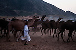 A man tries to control its herd of camels at Pushkar fair ground.  Rajasthan, India.