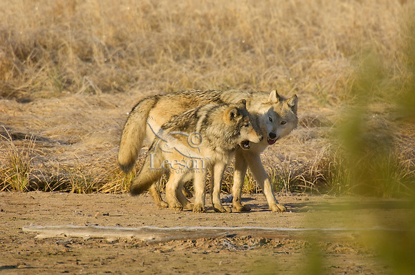 Wild GRAY WOLVES (Canis lupus) playing/behavior.  Wolf on the left is approximately 6 month old pup trying to get mom to play (most likely begging for food.)  Greater Yellowstone Ecological Area.  Fall.