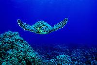 The endangered Green Sea Turtle (Chelonia mydas) is a common sight on Hawaii'a coral reefs. Hawaiian name is  Honu.