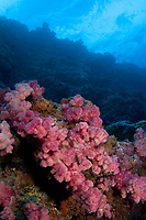 Soft coral, Mil Channel, Yap Micronesia.