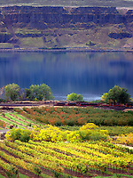 Vineyard with fall color. Columbia River Gorge National Scenic Area, Washington