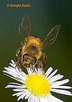 1B05-501z  Honeybee flying from flower, note 4 wings,  Apis mellifera