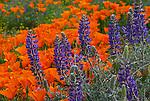 California Poppy Reserve, 4x6 postcards