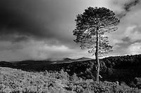 Scots Pine in Glen Einich, Rothiemurchus, Cairngorm National Park, Highland