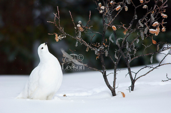 White-tailed Ptarmigan (Lagopus leucurus) eating buds and leaves off willow.