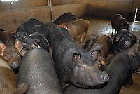 - breeding of pigs at the agricultural company Spigaroli....- allevamento di maiali presso l'azienda agricola Spigaroli