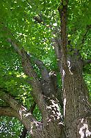 Sommer-Linde, Sommerlinde, Linde, Tilia platyphyllos, Tilia grandifolia, large-leaved lime, Large Leaved Lime, largeleaf linden, large-leaved linden, Le tilleul à grandes feuilles