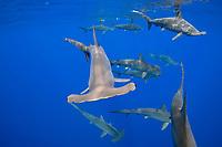 scalloped hammerhead, Sphyrna lewini, female, schooling, endangered species, Keauhou, Kona Coast, Big Island, Hawaii, USA, Pacific Ocean