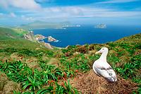nesting southern royal albatross, Diomedea epomophora, Campbell Island, New Zealand, Pacific Ocean
