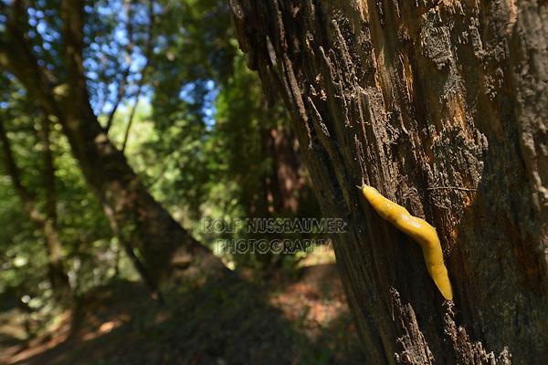 California Banana Slug (Ariolimax californicus), Henry Cowell Redwoods  State Park, California, USA