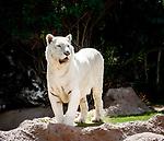 Spanien, Kanarische Inseln, Teneriffa, Puerto de la Cruz: Loro Parque - weisser Tiger | Spain, Canary Islands, Tenerife, Puerto de la Cruz: Loro Parque - white tiger