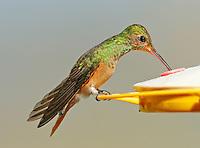 Buff-bellied hummingbird at feeder