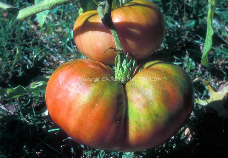 Brandywine tomatoes, antique heirloom beefsteak variety growing, with pink flushed skin