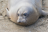 "Northern Elephant Seal (Mirounga angustirostris) pup (often called a ""weaner"").  Central California coast."