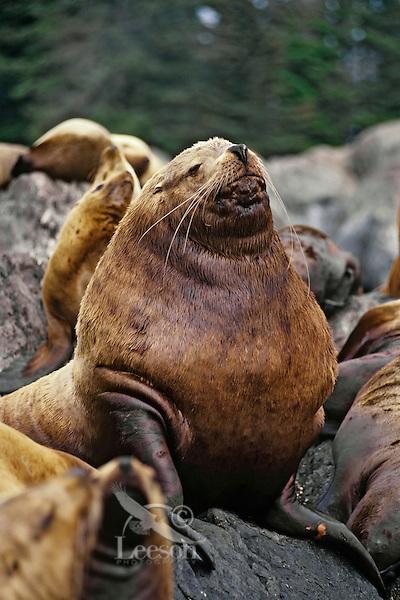 Northern or Steller Sea Lion (Eumetopias jubatus) bull, Pacific Northwest.