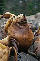 Northern or Steller Sea Lion (Eumetopias jubatus) bull, Pacific Northwest.