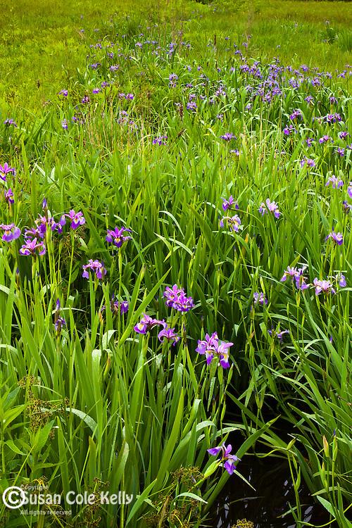 Wild Iris in Hancock County, ME, USA