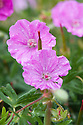 Geranium sanguineum 'Ankum's Pride', early June. Commonly known as Bloody cranesbill, this is a compact spreading perennial to 15cm tall, with rounded leaves divided into narrow lobes, and bowl-shaped clear rose-pink flowers from early summer.