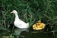 DG13-901x  Pekin Duck - ducklings swimming with mother