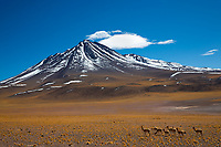 Herd of guanacos in the Atacama Desert at the foot of the 5920m-high, snow-capped Licancabur Volcano, San Pedro de Atacama, Chile