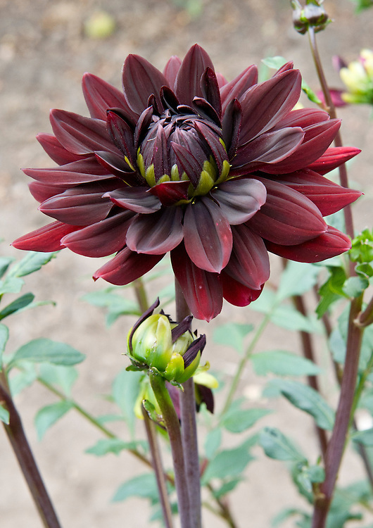 The first dark-red bloom of Dahlia 'Sam Hopkins, early August.