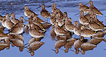 Dowitchers, New Mexico