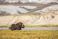 Muskox along the Sagavanirktok river and the Franklin Bluffs on the Arctic Coastal Plains, Arctic, Alaska.