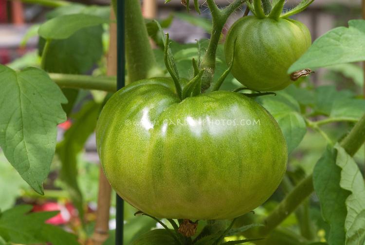 Heirloom tomatoes Black Krim growing, beefsteaks (aka Black Crim, Black Crimson)