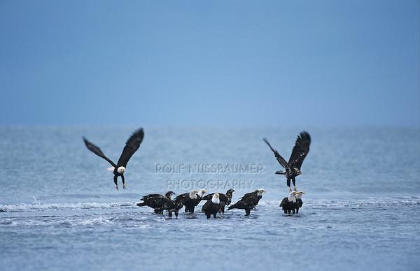 Bald Eagle, Haliaeetus leucocephalus,adult and immature taking off because off rising tide, Homer, Alaska, USA