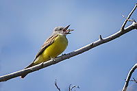 Couch's Kingbird eating insect.