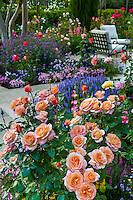 Peach colored Floribunda Rose 'Tuscan Sun' flowering shrub in patio garden in California country garden