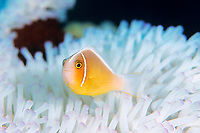 white-maned anemonefish or pink anemonefish, Amphiprion perideraion, Amami-ohsima island, Kagoshima, Japan, Pacific Ocean