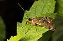 Scorpion Fly {Panorpa cognata} male. Strumpshaw Fen, Norfolk, UK. September.