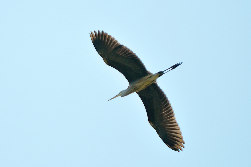 In and around wetlands, be ever aware of the possibility of being buzzed over by a low flying Heron.