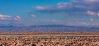 South America, Chile, Salar de Atacama laguna Chaxa,flamingos in the blue lagoon