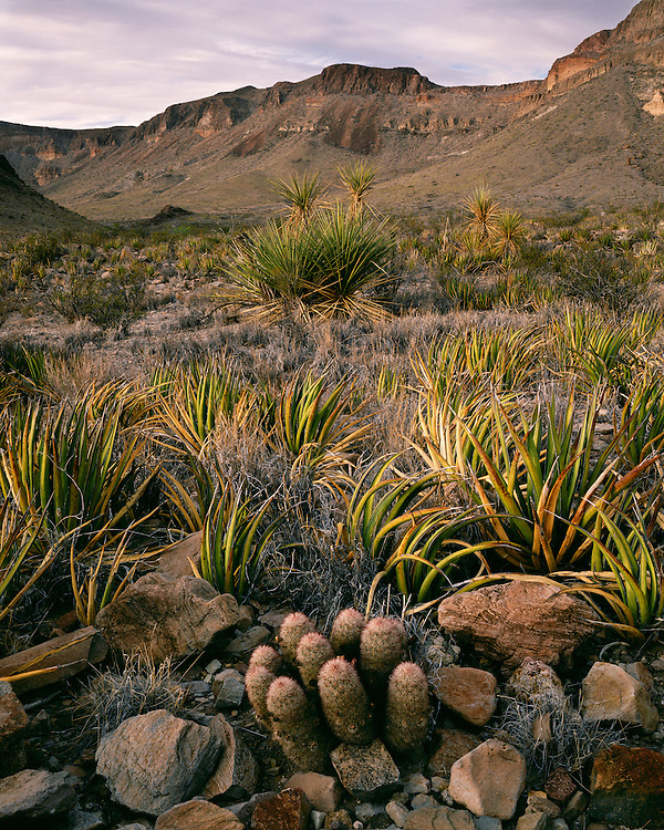 Evening light on Hedgehog Cacti and Lechuguilla in Burro Spring Pouroff; Big Bend National Park, TX
