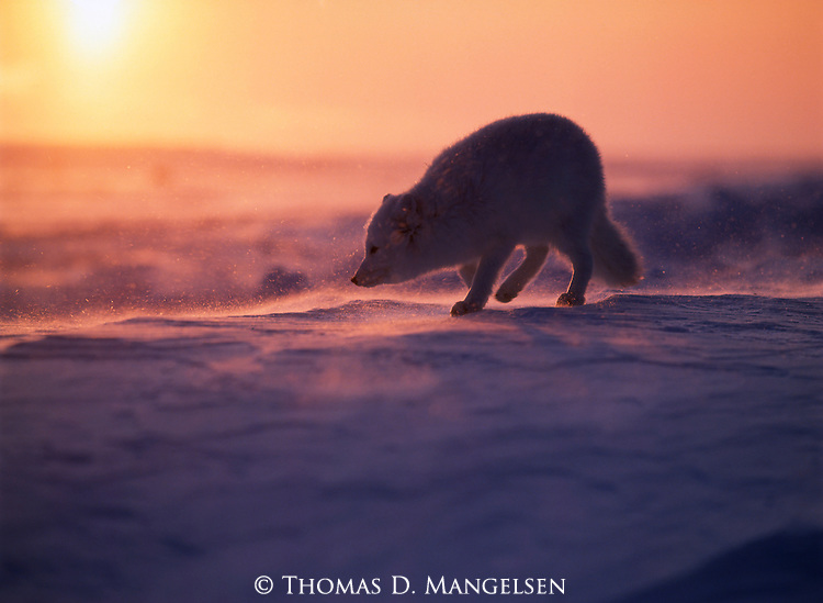 Arctic Fox walks through blowing snow as the sun sets on Hudson Bay in Canada.