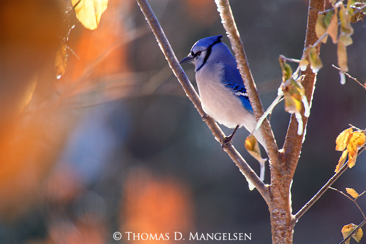 A noisy song and bright colors announce the presence of a blue jay on a cold winter day.