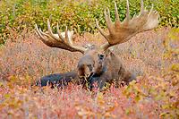 moose, Alces alces, bull resting on fall tundra in Denali National Park, interior, Alaska, USA, USA