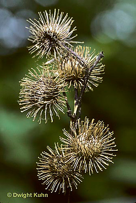 BD04-014a  Burdocks - close-up of seeds with hooks that catch on objects for seed dispersal - Arctium minus
