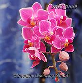 Gisela, FLOWERS, BLUMEN, FLORES, photos+++++,DTGK2559,#f#, EVERYDAY ,orchids