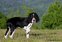 0730-0814  Tricolor English Springer Spaniel Puppy Pointing, Canis lupus familiaris © David Kuhn/Dwight Kuhn Photography.