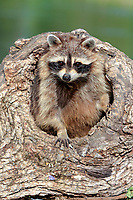 Raccoon (Procyon lotor), captive, female in its den, Montana, United States, North America